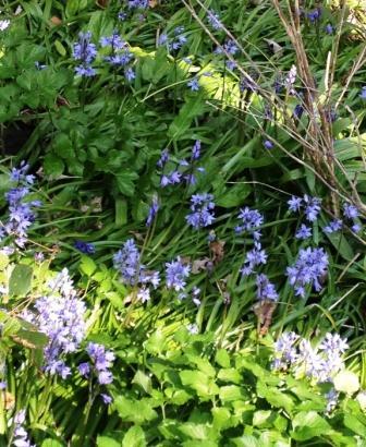 Spring lovelies…..Pashley Manor tulips