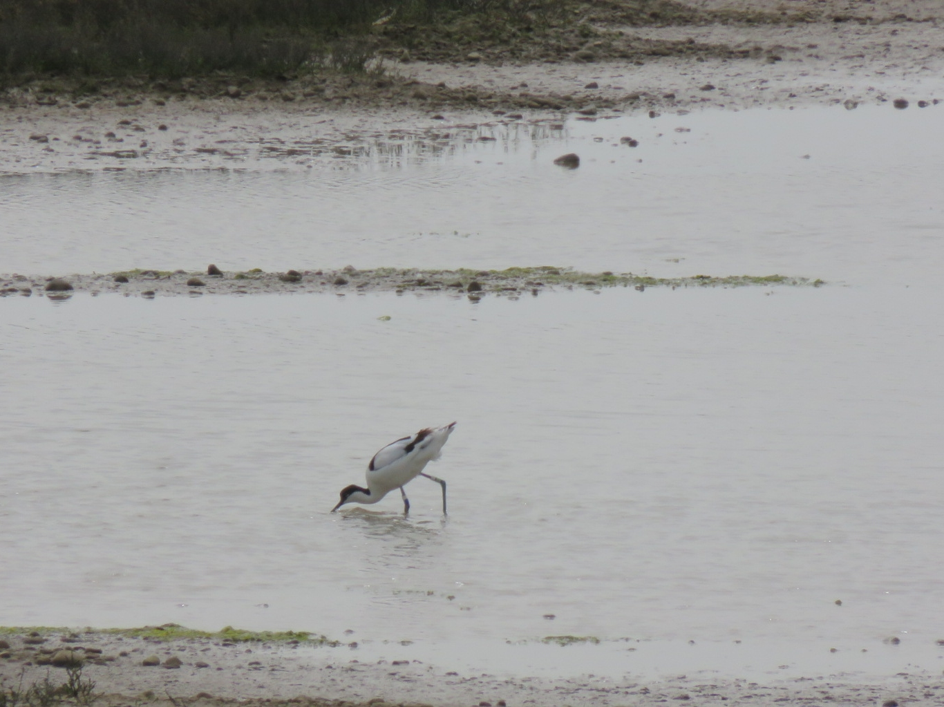 Battleaxe sighs over election horrors, Rye Harbour with avocets and creepy caterpillars