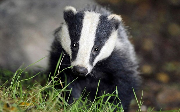 RIP poor badger… many more of them in the garden