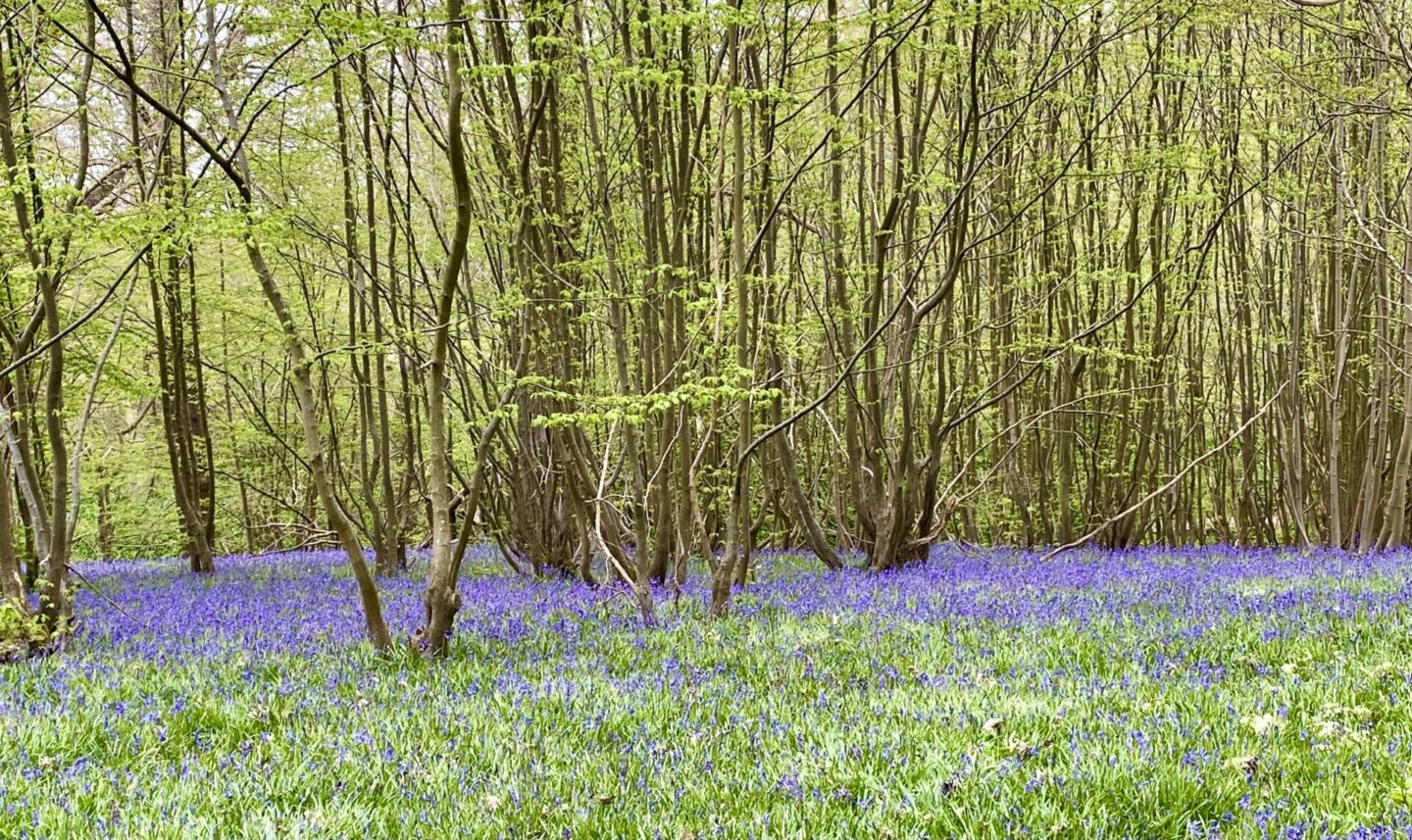 Hole Park bluebells – a chilly visit!